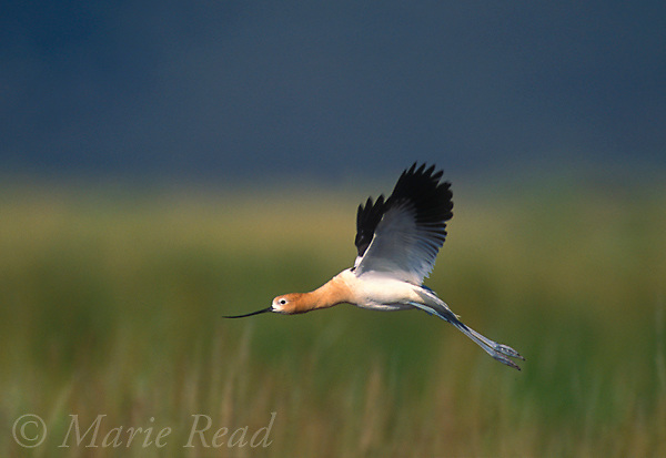 American Avocet (Recurvirostra americana) adult in breeding plumage, in flight, California, USA<br /> Slide # B54-322