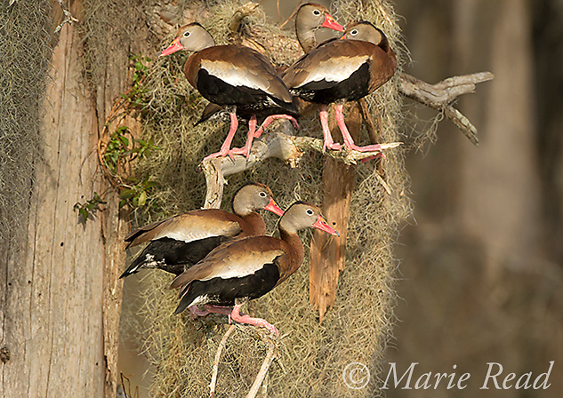 Black-bellied Whistling-Ducks (Dendrocygna autumnalis), group perched amid spanish moss on bald cypress tree, Lakeland, Florida, USA