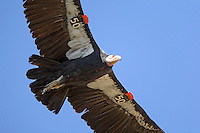 California condor (Gymnogyps californianus), close overhead soaring flight against blue sky, showing patagial markers for identification in the field