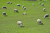 sheep on farm<br /> on north shore of Lake Erie<br /> Ontario<br /> Canada