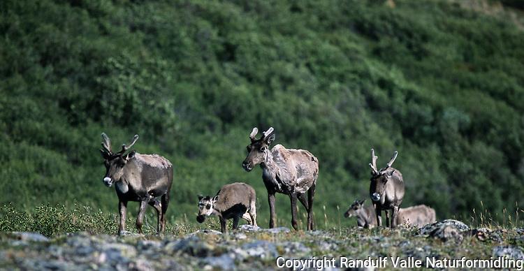 Canadisk villrein --- Caribou --- Rangifer tarandus groenlandichus