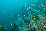 Sea of Cortez, Baja California, Mexico; an aggregation of Scissortail Chromis and King Angelfish swimming above the rocky reef