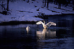 Trumpeter Swans (Cygnus buccinator) Yellowstone National Park, WY