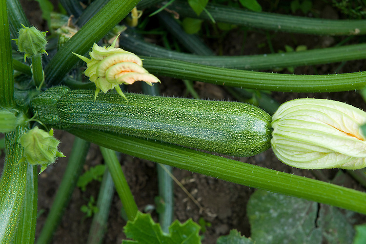 Courgette 'All Green Bush', early August. Seeds were sown about 13 weeks earlier, at the end of April.