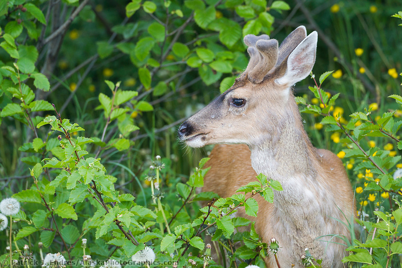 Young Sitka black-tailed deer with antlers in spring velvet, Kodiak Island, Alaska.