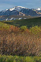 Evidence of over population browsing damage by snowshoe hares during winter months, Denali National Park, interior, Alaska.