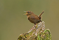 Male Pacific wren proclaiming his territory by singing from his favorite perch atop a rotting stump.<br />