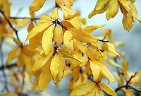 Stock image of yellow worn out leaves on branch in Autumn.