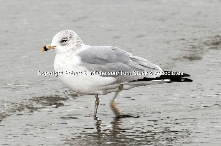 Ring-billed Gull walking through chilly North Atlantic waters while over-wintering in Hingham, Massachusetts