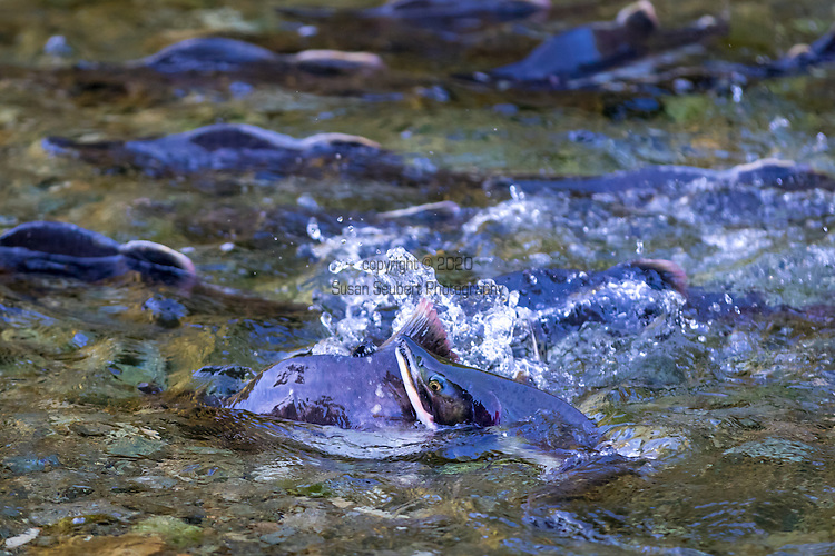 Pink Salmon returning to their birthplace in order to spawn, late summer, Port Althrop, Inside Passage, Alaska, USA