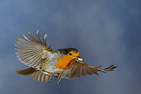 Rotkehlchen, fliegend, im Flug, Flugbild, mit Vogelfutter im Schnabel, Erithacus rubecula, robin, European robin, robin redbreast, flight, flying, Le Rouge-gorge familier
