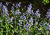 Bluebells (Hyacinthoides non-scripta) are particularly associated with ancient woodland where it may dominate the under storey to produce carpets of violet&ndash;blue flowers in &quot;bluebell woods&quot;, but also occurs in more open habitats in western regions. It is protected under UK law, and in some other parts of its range.<br /> <br /> This photo was taken in Lancing Ring, West Sussex which is a local nature reserve within the South Downs National Park.<br /> <br /> Since 2005, The Ring has been managed by a partnership between Adur District Council and The Friends of Lancing Ring and has been an example of how Councils and Community groups can work together.<br /> <br /> This site is important for its chalk grassland, but also has other habitats such as a small woodland and a dewpond.<br /> <br /> The Friends of Lancing Ring have 'task days' at 10am on the 3rd Sunday morning of every month when people can become actively involved in the improvement and maintenance of the Ring.<br /> <br /> Anyone interested in getting involved please meet at the car park at the top of Mill Road in North Lancing because all help is appreciated.<br /> <br /> When I was a kid, 50 years ago, I grew up In Halewick Lane and the ring was part of our playground. Back then it was very wild and had lots of mature Beech Trees which were mostly wiped out in the 1987 &quot;Big Storm&quot;. We loved climbing those trees and making tunnels in the thick undergrowth and building camps. I live in London now but visit my Mother in Lancing so get to experience the changes that have been going on over the last few years. <br /> <br /> Stock Photo by Paddy Bergin.
