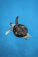 Green sea turtle, Chelonia mydas, Chichi-jima, Bonin Islands, Ogasawara Islands, Natural World Heritage Site, Tokyo, Japan, Pacific Ocean