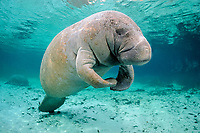 Florida manatee, Trichechus manatus latirostris, a subspecies of West Indian manatees, Crystal River, Florida, USA