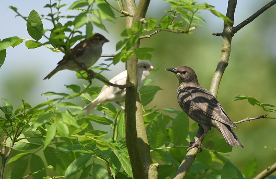 AN ALBINO HOUSE SPARROW FLEDGLING WITH A STARLING FLEDGLING. PHOTO BY CLARE KENDALL. 07971 477316