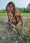 A woman weeds her peanuts in West Fasura, a village on an island in the Brahmaputra River in northern Bangladesh.