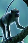 Long-tailed Macaque (Macaca fascicularis) climbing in tree, Tawau Hills Park, Sabah, Borneo, Malaysia