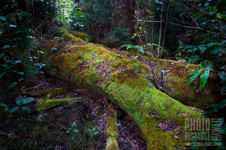 A fallen tree, now a moss-covered log, becomes a work of art along a hiking trail in the rainforest above Waimea Canyon, Kauai.