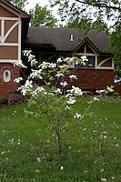 A dogwood tree stands amid a forrest of dandelions in front of a home in Belton, MO on May 10, 2008. The Cornus florida blooms in early May each year.