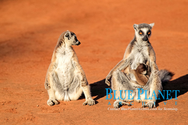 Ring-tailed Lemur (Lemur catta), mother with young, and a female adult, sunbathing, Berenty Reserve, Madagascar, Africa