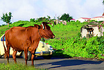 Domestic animals; cows and goats, are a common site along the roadways in Statia.