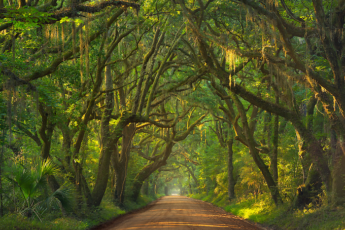 This picturesque road through Edisto Island winds through a forest of lush greens and oak trees.