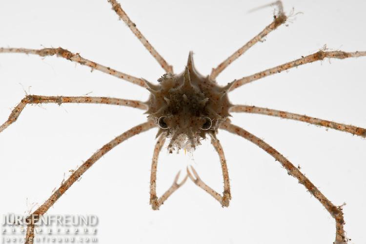 Deep sea spider crab caught at 150 meters