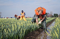 Migrant labour cropping daffodils - Lincolnshire, March