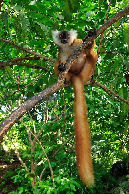 Female Black Lemur (Eulemur macaco macaco), Lokobe Nature Special Reserve, Nosy Be, Northern Madagascar