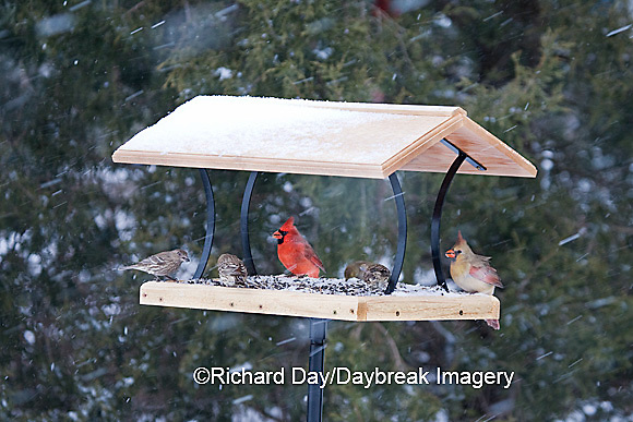 00585-037.14 Northern Cardinals, House Finches & American Goldfinch on platform tray feeder, Marion Co. IL
