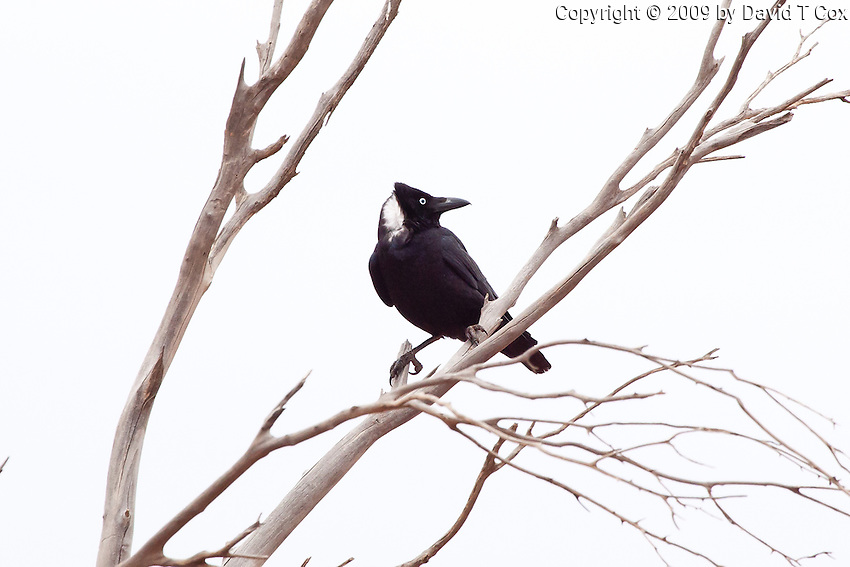 Little Crow, near Menindee, NSW, Australia