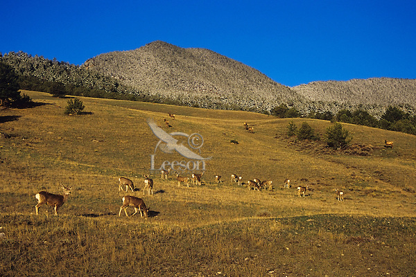 A herd of Mule Deer graze in the foreground while higher up the hillside several elk feed in early spring.  Shoshone National Forest, Wyoming.