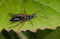 Schlupfwespe, Diphyus quadripunctorius, Ichneumon Wasp