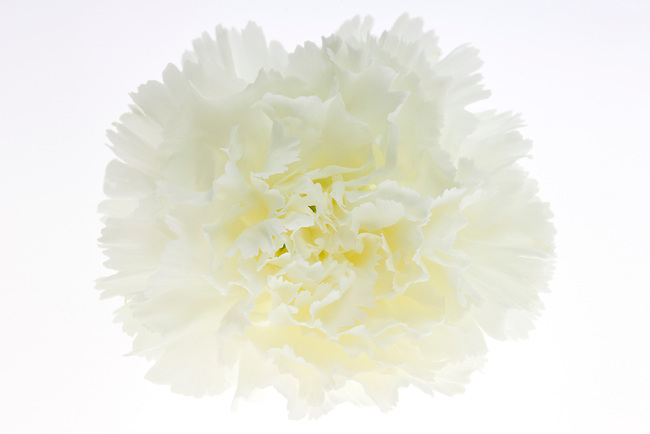 close up, macro of a white carnation on a white background