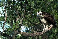 Osprey in Mangrove Tree, Florida Keys Wild Bird Sanctuary. Tavernier, Florida.