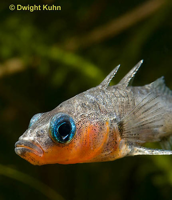 1S14-722z   Male Threespine Stickleback, Mating colors showing bright red belly and blue eyes, close-up of face, Gasterosteus aculeatus,  Hotel Lake British Columbia.