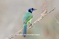 01291-00604 Green Jay (Cyanocorax yncas) on perch Starr Co., TX