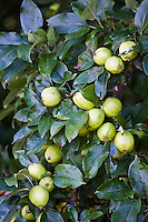 Apples growing in a country orchard, Herefordshire, England, United Kingdom