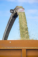 Harvesting forage maize for Anaerobic Digestion - Lincolnshire; Ocrober