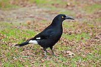 Pied Currawong, Blue Mountains NP, NSW, Austalia