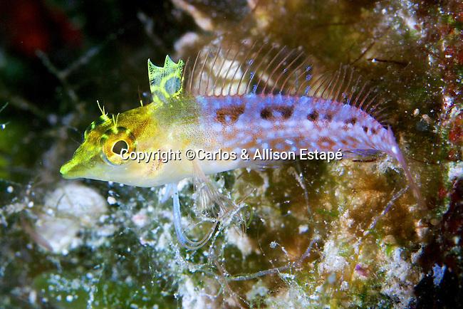 Malacoctenus boehlkei, Diamond blenny, Bahamas