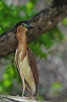 Rufous Night-Heron (Nycticorax caledonicus)Palawan