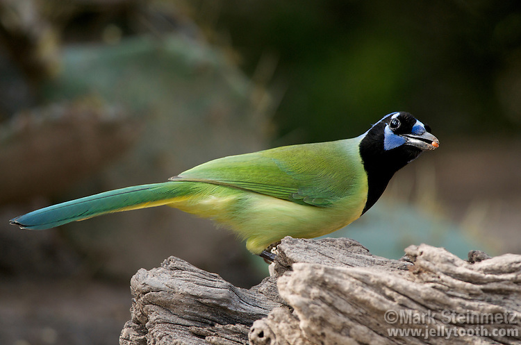 Green Jay (Cyanocorax yncas) with a seed in its beak, Lower Rio Grande Valley, Texas, USA