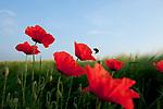 Europa, DEU, Deutschland, NRW, Nordrhein-Westfalen, Niederrhein, Rheinland, Waldfeucht, Naturraum Selfkant, Klatschmohn, Mohn, Mohnbluete, Kategorien und Themen, Natur, Umwelt, Pflanzen, Pflanzenkunde, Botanik, Biologie, Natur, Naturfoto, Naturfotos, Naturfotografie, Naturphoto, Naturphotographie, Landschaft, Landschaften, Landschaftsfoto, Landschaftsfotografie, Landschaftsphoto, Landschaftsphotographie<br /> <br /> [Fuer die Nutzung gelten die jeweils gueltigen Allgemeinen Liefer-und Geschaeftsbedingungen. Nutzung nur gegen Verwendungsmeldung und Nachweis. Download der AGB unter http://www.image-box.com oder werden auf Anfrage zugesendet. Freigabe ist vorher erforderlich. Jede Nutzung des Fotos ist honorarpflichtig gemaess derzeit gueltiger MFM Liste - Kontakt, Uwe Schmid-Fotografie, Duisburg, Tel. (+49).2065.677997, ..archiv@image-box.com, www.image-box.com]