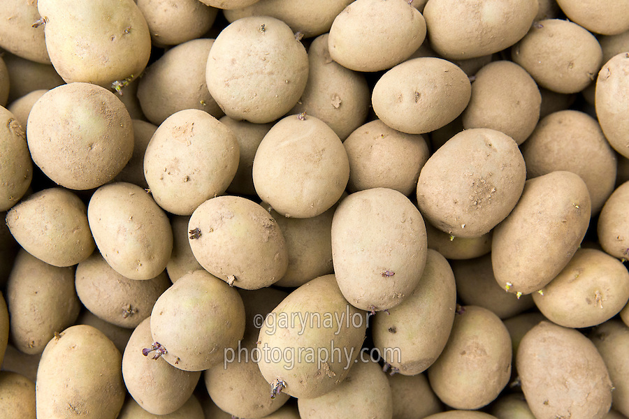 Scottish Maris Piper seed potatoes - Lincolshire, January