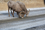 Bighorn Sheep ram and ewe licking salt from a paved road in winter