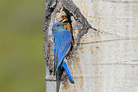 Male Mountain Bluebird (Sialia currucoides) at nest cavity in aspen tree.  Western U.S., June.