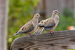 MORNING DOVE PAIR, ZENAIDURA MACROURA, ON BACK OF WOOD BENCH