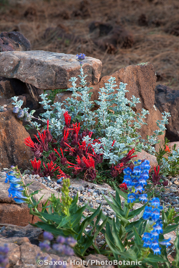 Monardella macrantha 'Marian Sampson' | Scarlet Monardella; Coyote Mint flowering in New Mexico garden with Salvia dorii; David Salman garden