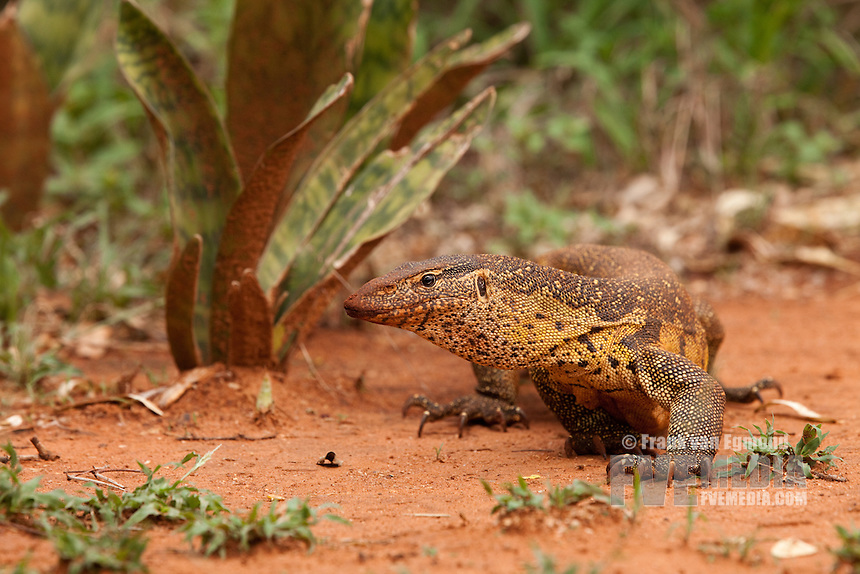 Nile Monitor (Varanus salvator)..After the first major spring rains fell, the water monitors were very active and could be found out in the open..Ndumo Game Reserve..Kwazulu-Natal, South Africa.